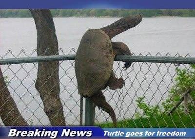 freedom-turtle